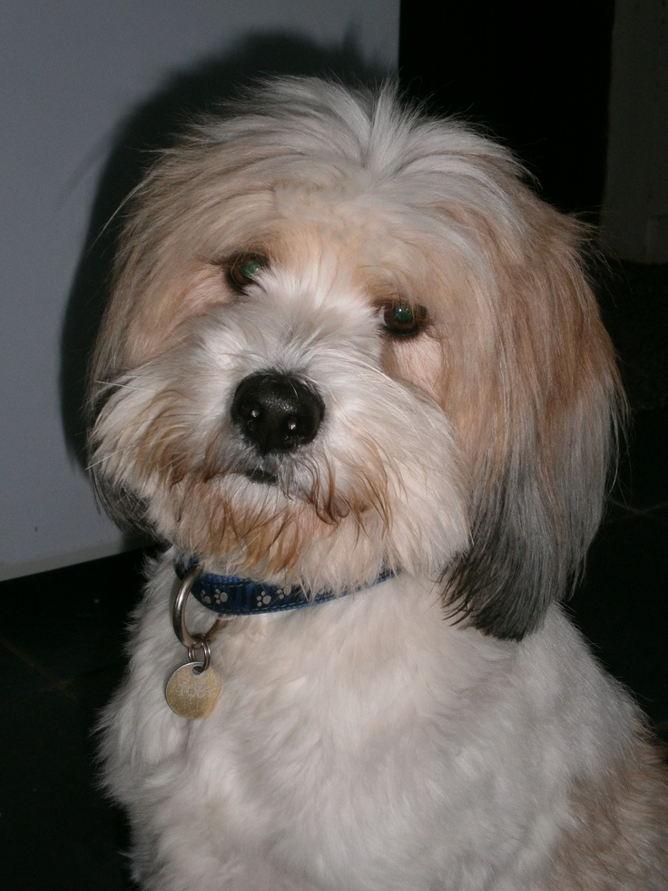 Lhasa Also Hair Cuts Pictures | Dog Breeds Picture