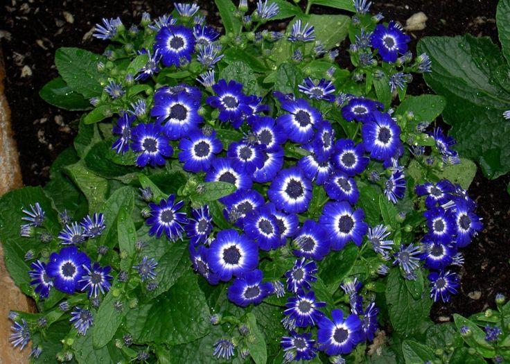 Blue Flower Names 8 Blue Flowers Pinterest