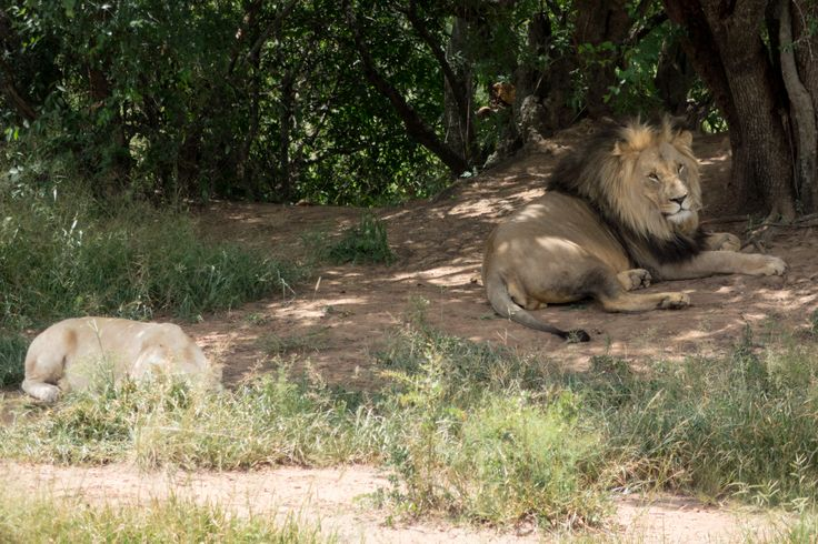 White and brown lions, entabeni