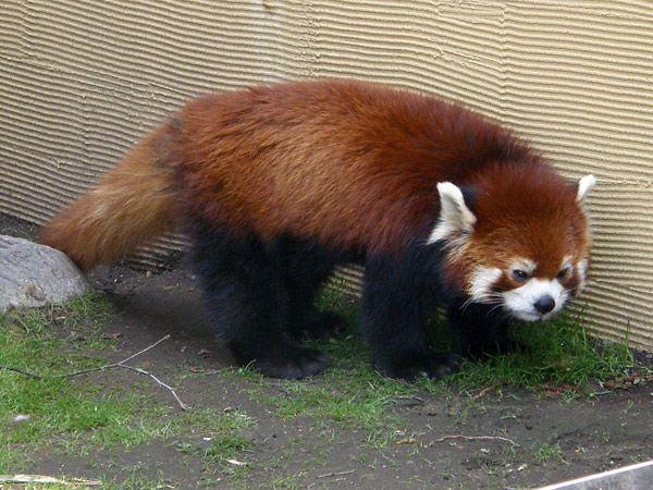 レッサーパンダの画像 p1_22