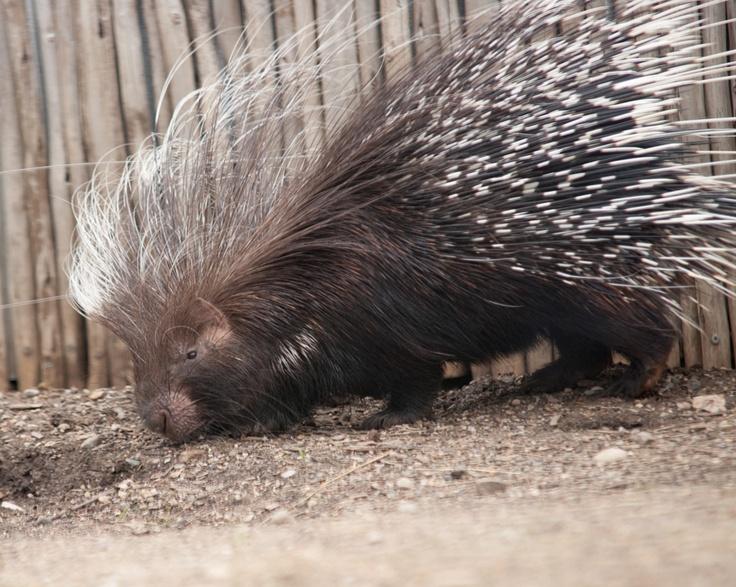 porcupine | Porcupines and Skunks | Pinterest