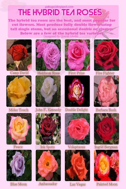 Hybrid Tea Rose Varieties   Roses   Pinterest