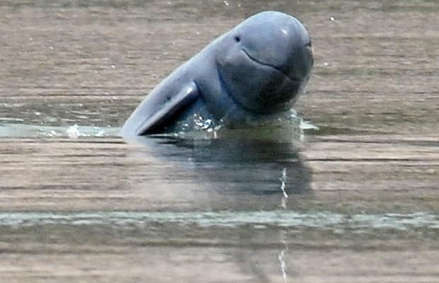 08/25/12 PHNOM PENH: The Cambodian government on Friday said it will limit fishing in a zone in the Mekong River to protect critically endangered freshwater dolphins.    The Irrawaddy dolphin conservation area will cover a 180-kilometre-long stretch of river from eastern Kratie province to the border with Laos, the government said after the measure was approved in the weekly cabinet meeting.