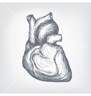 human-heart-ske... Vectorstock Media