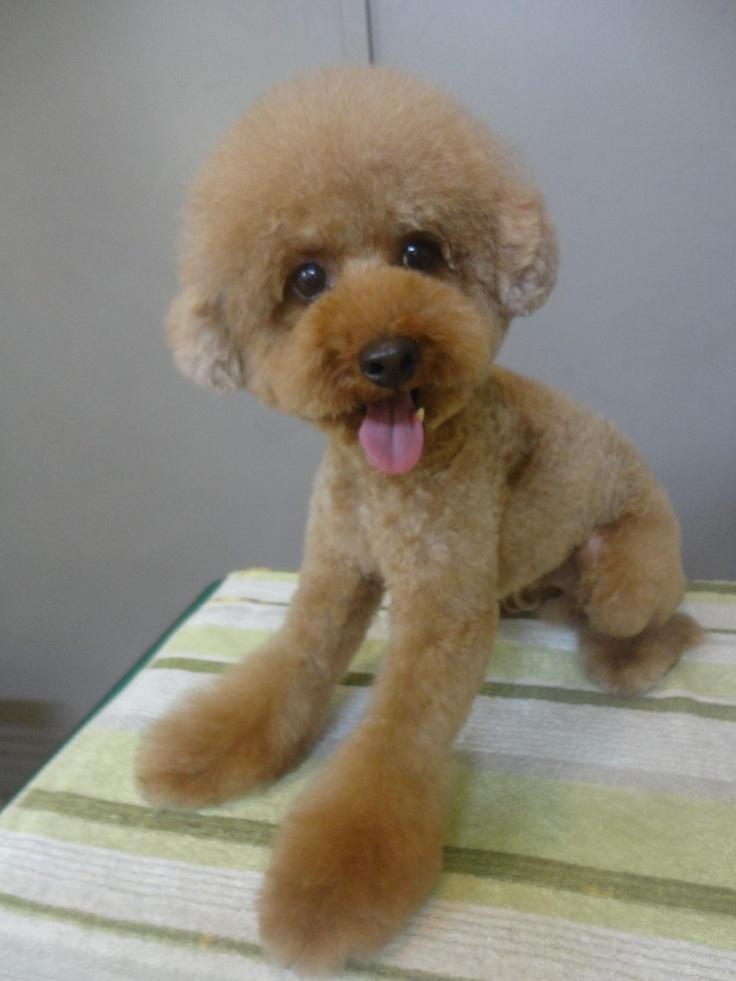 お顔まんまるアフロヘアー Found on dogcafe.jp  お顔まんまるアフロヘアー