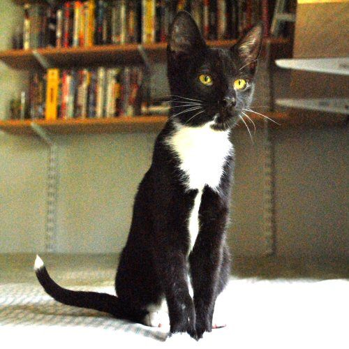 Cat Black With A White Tip On Tail