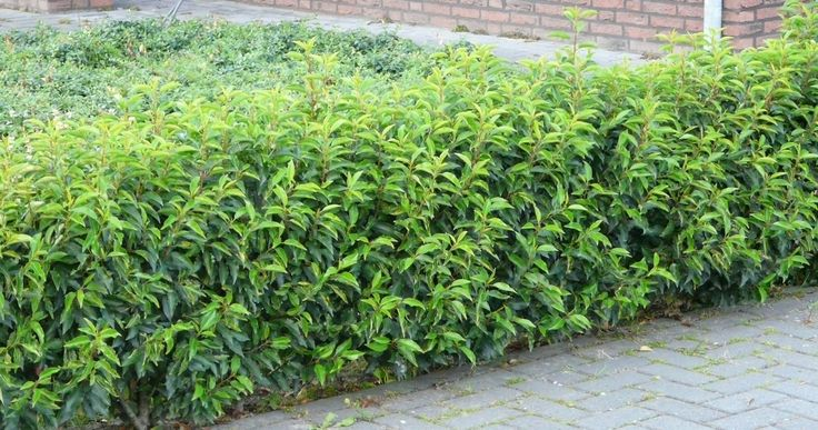 Prunus lusitanica 39 angustifolia 39 portugese laurier haag lane garden shade plant countri lane - Tuin ideeen ...