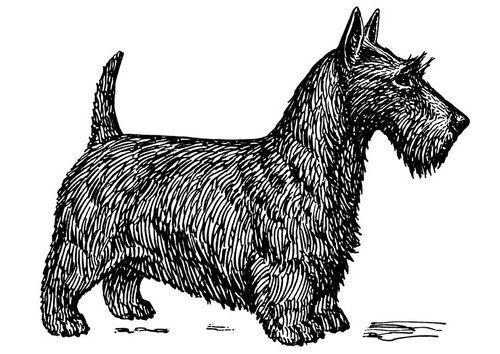 scottish terrier coloring pages - photo#15