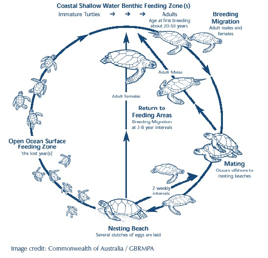Seal Life Cycle Diagram - Just Another Wiring Diagram Blog • Long Chain Lion Cc Atv Wiring Diagram on