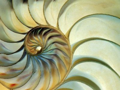 Close-up of Nautilus Shell Spirals by Eric Kamp. Photographic print from Art.com.