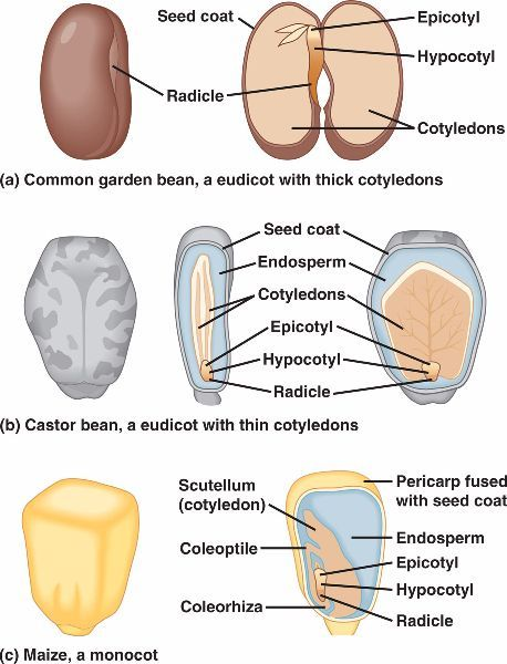 Seed anatomy for the love of agriculture pinterest