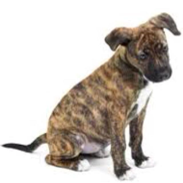 Brindle Pitbull pup | So Cute