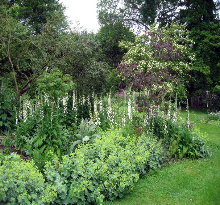alchemelia edging in a woodland border garden dreams