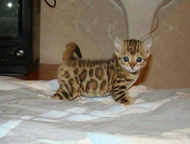 This Cat Looks Like A Baby Leopard