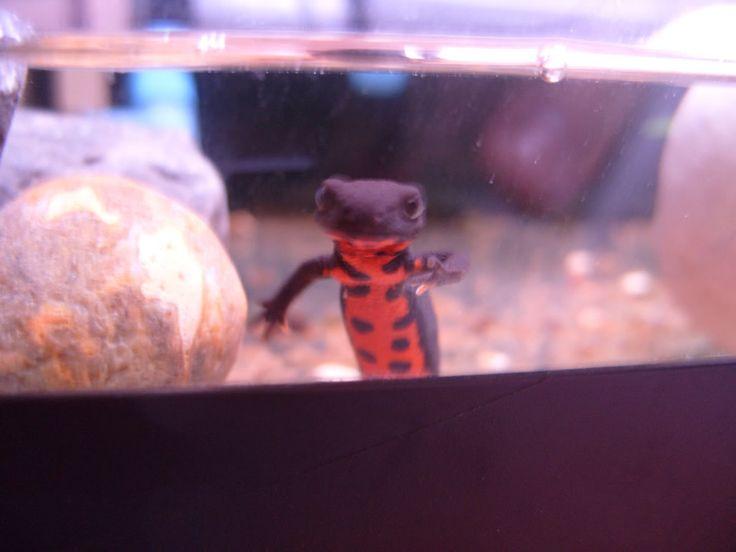 fire belly newt (x2 - macaroni & cheese) Fauna for the Vivarium/Ter ...