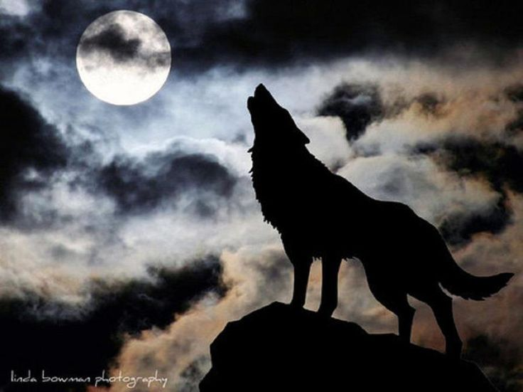 wolf howling at the moon cute wolves pinterest. Black Bedroom Furniture Sets. Home Design Ideas