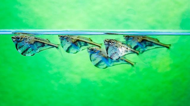 Marbled Hatchetfish Reference Images: Hatchetfish Pinterest