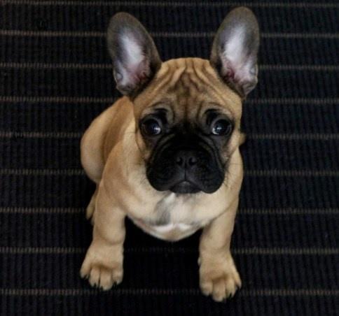 ... Pug- French bulldog pug mixed French Bulldogs Puppies, French