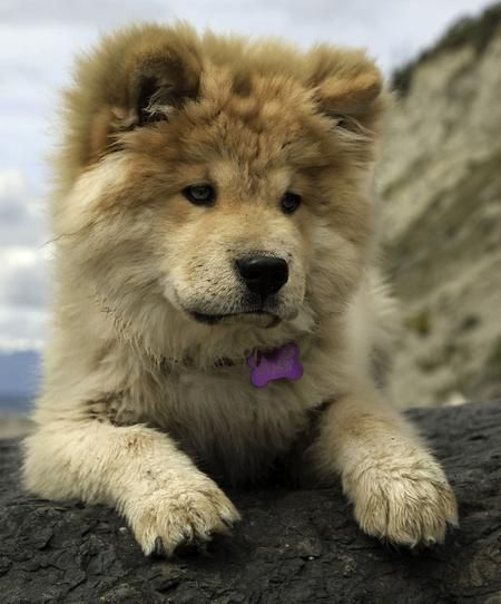 Little Dogs That Look Like Lions