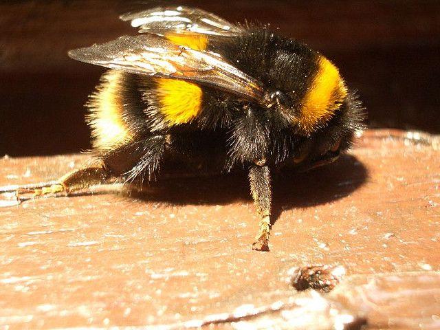 Bumble Bee | Bumble Bee Pillow Pet | Pinterest