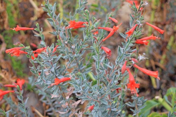 california fuchsia | For my little bird watcher | Pinterest