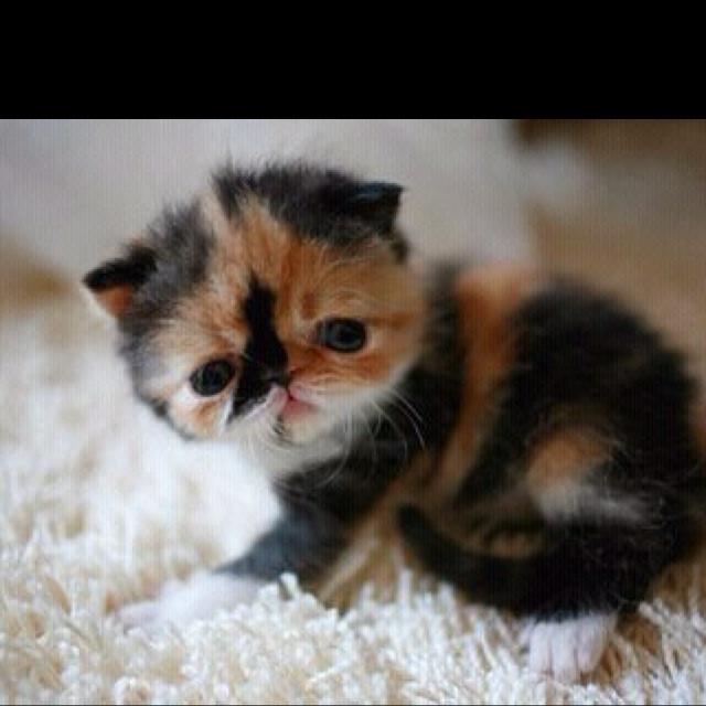 how long do calico cats live