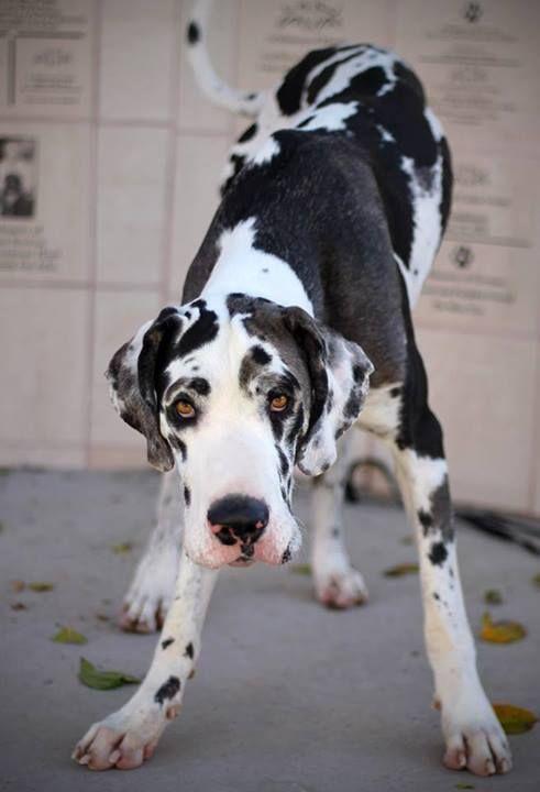 Black And White Great Dane | Animals & stuff! | Pinterest