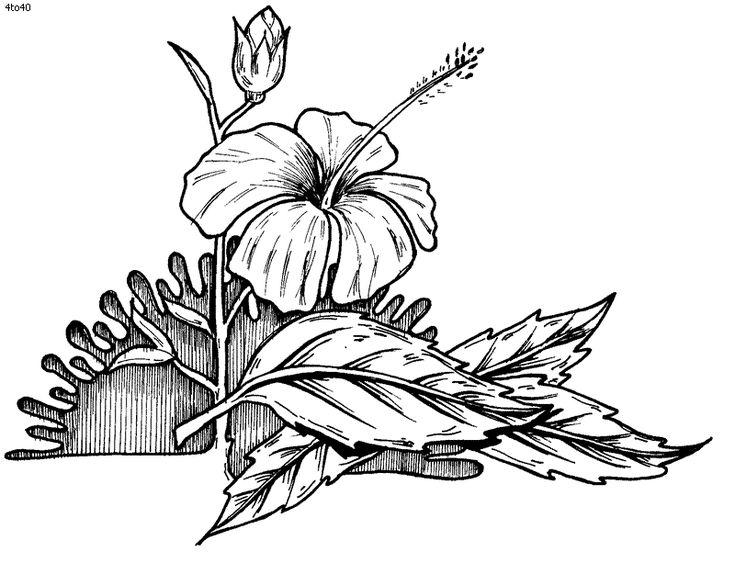 Line Art Hibiscus : Hibiscus line art google search hybiscus study pinterest