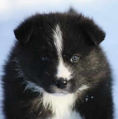 Karelian Bear dog puppy | And they called it PUPPY LOVE ...