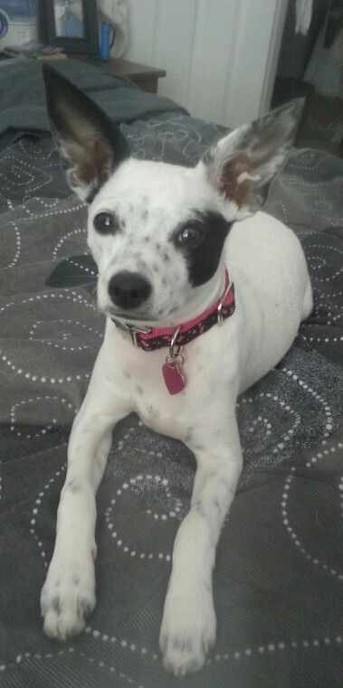 Khloe the Rat Terrier/Chihuahua mix :) | BLT hold the Mayo | Pinterest