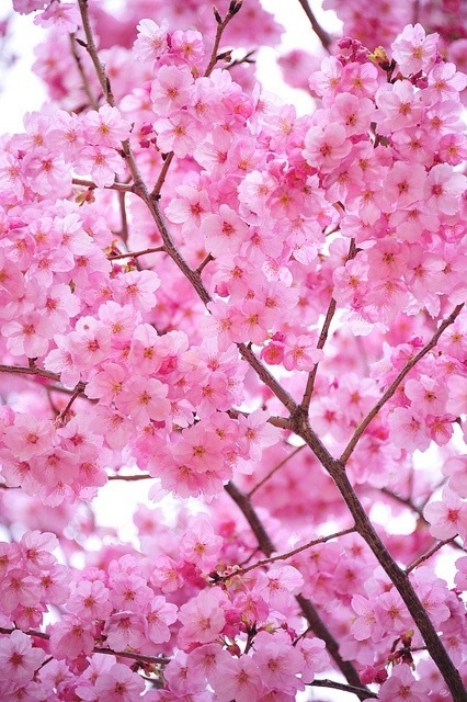 Small pink flowers on blossom tree