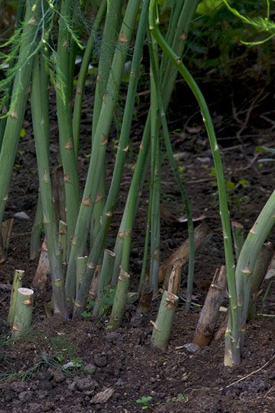 GROWING ASPARAGUS | CONTAINER GARDENING | Pinterest
