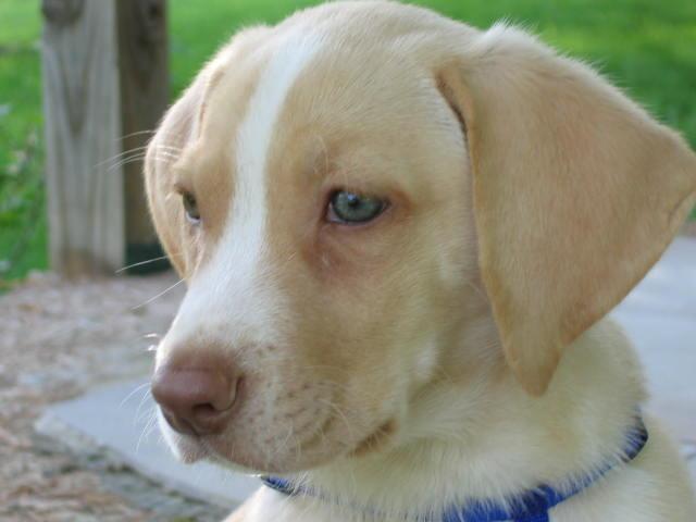 Koda as a pup