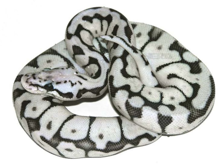 Axanthic Killer Bee Ball Python | All Creatures Great and ...