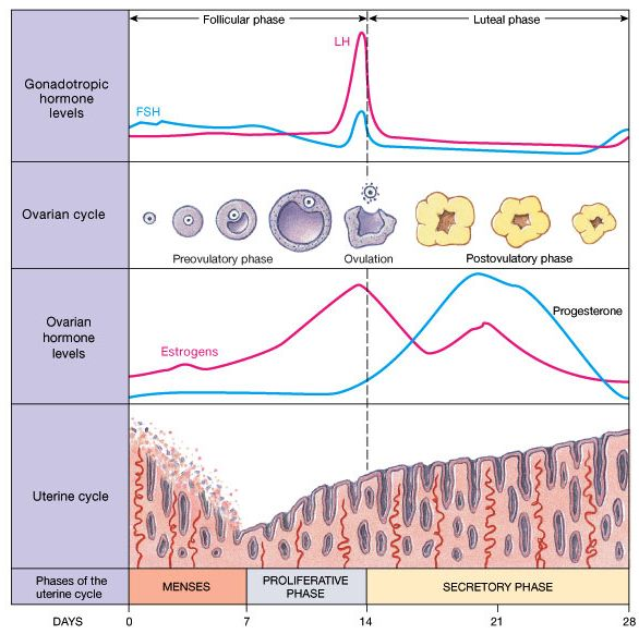 Menstrual Cycle Phases | Menstrual Cycle | Pinterest