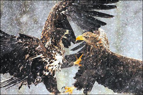 clash of eagles (antoni kasprzak/ wildlife photographer of