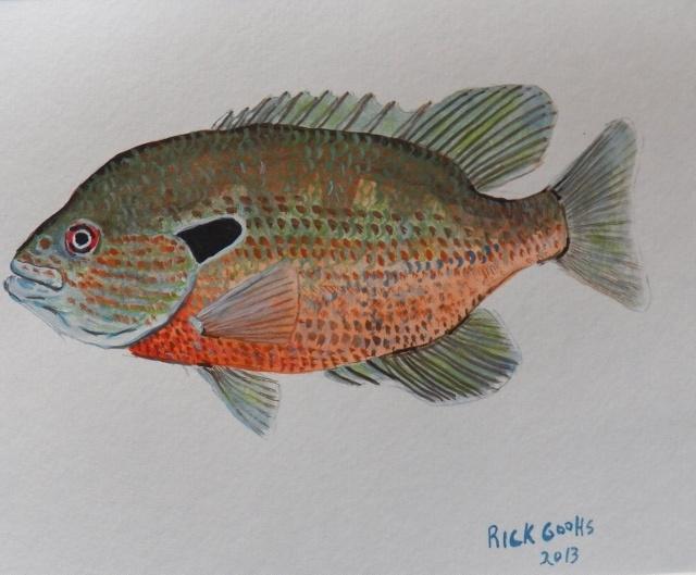 Redbreast Sunfish in watercolor Fish paintings Pinterest