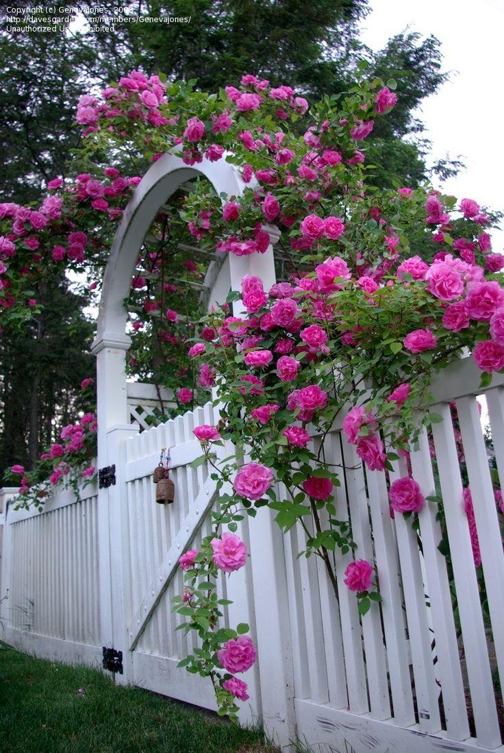 Bourbon Rose Zephirine Drouhin Wild color so-so grower for me    Zephirine Drouhin Rose