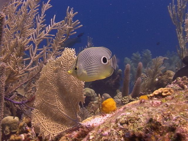 Roatan 39 s fish and reef isla r o a t a n pinterest for Kumak s fish