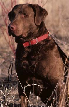 State Dog: Chesapeake Bay Retriever, a hunting breed with webbed paws and a waterproof coat.