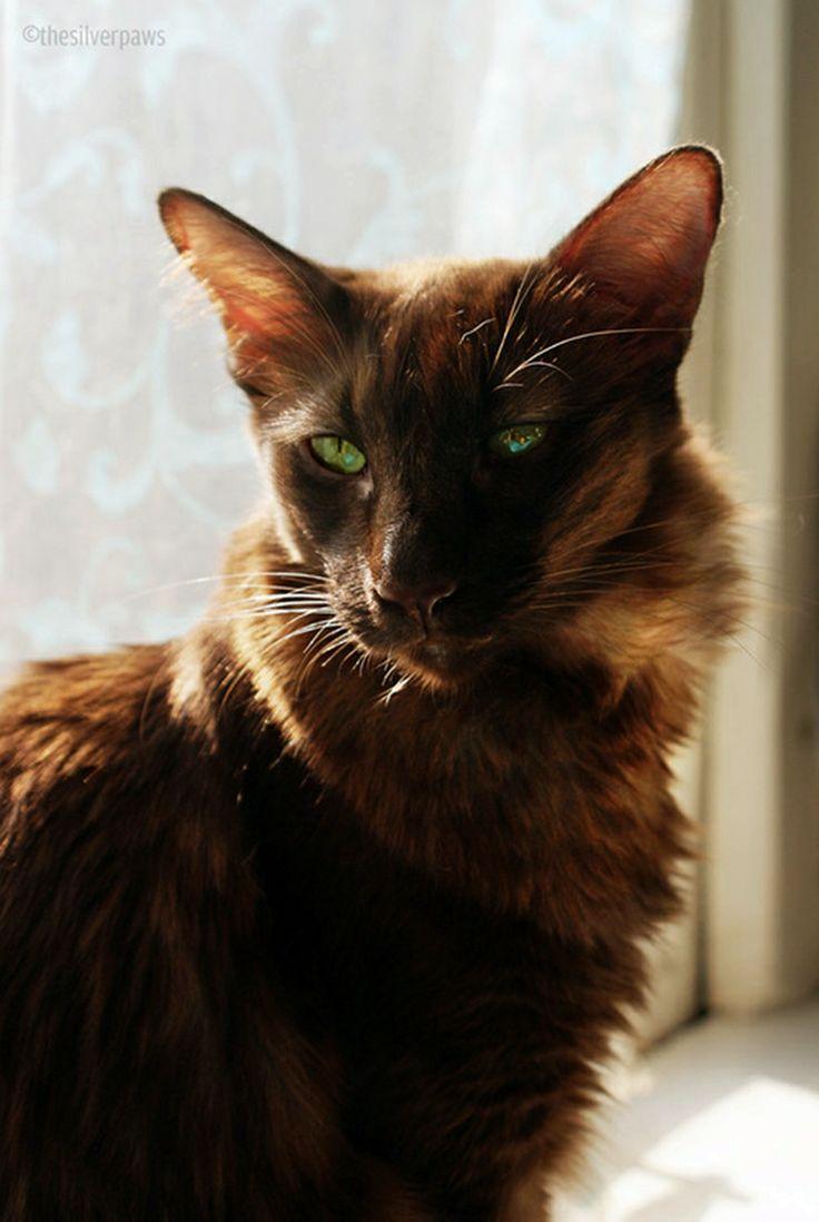 Oriental Longhair Cat Comfort Pinterest
