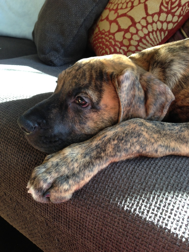 Cutest puppy ever boxer great dane mix if he was a little darker in