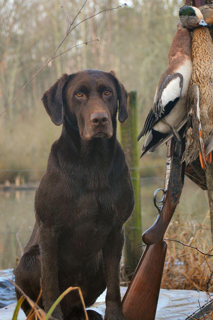 Chocolate Lab waterfowl retrieving dog | Pointers & Gun ...