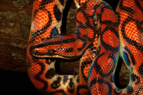 Brazilian Rainbow Boa - Epicrates cenchria - This boa species is a    Brazilian Rainbow Snake