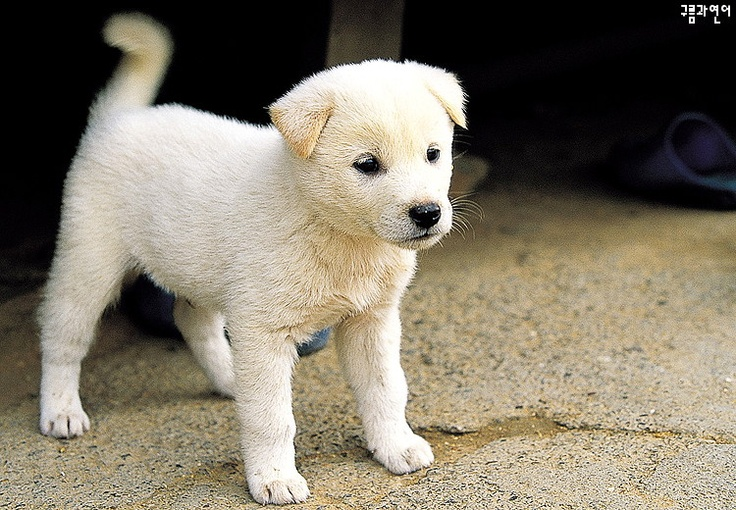 Jindo puppy- what if Mya was this cute as a puppy?!?!?