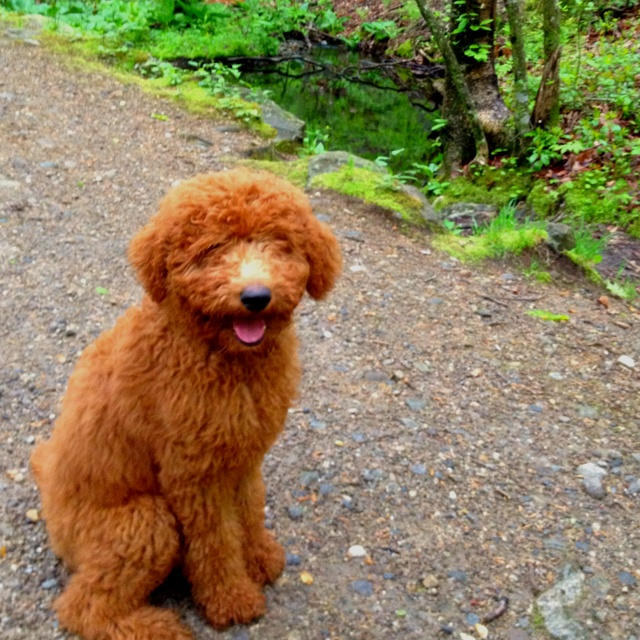 Red poodle!