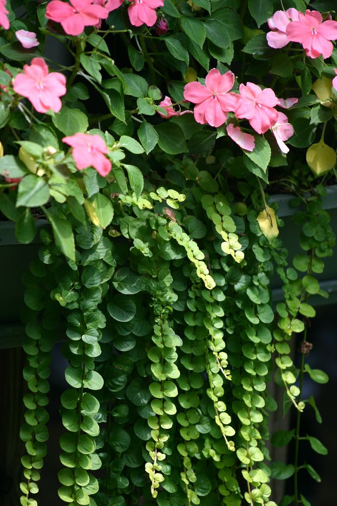 Window Box Impatiens - shade plants that bloom all season   (shown here with creeping jenny)