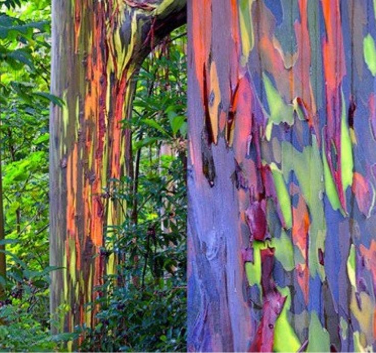 rainbow eucalyptus tree bark pattern shop bark brittle toffee. Black Bedroom Furniture Sets. Home Design Ideas