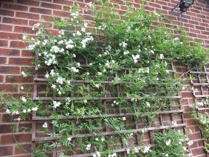Landscape Bushes With Odor : White jasmine such a sweet smell garden flowers