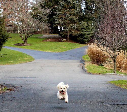 Running bichon! #dog